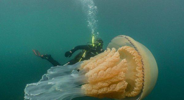 дайверы сфотографировали медузу размером с человека