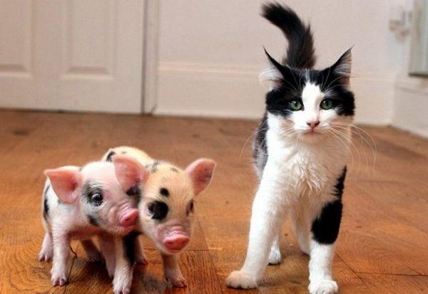 Два мини-пига и кошка
