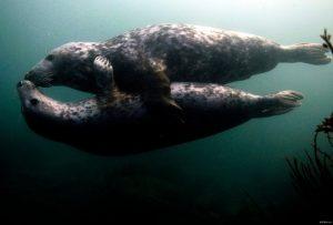 два тюленя