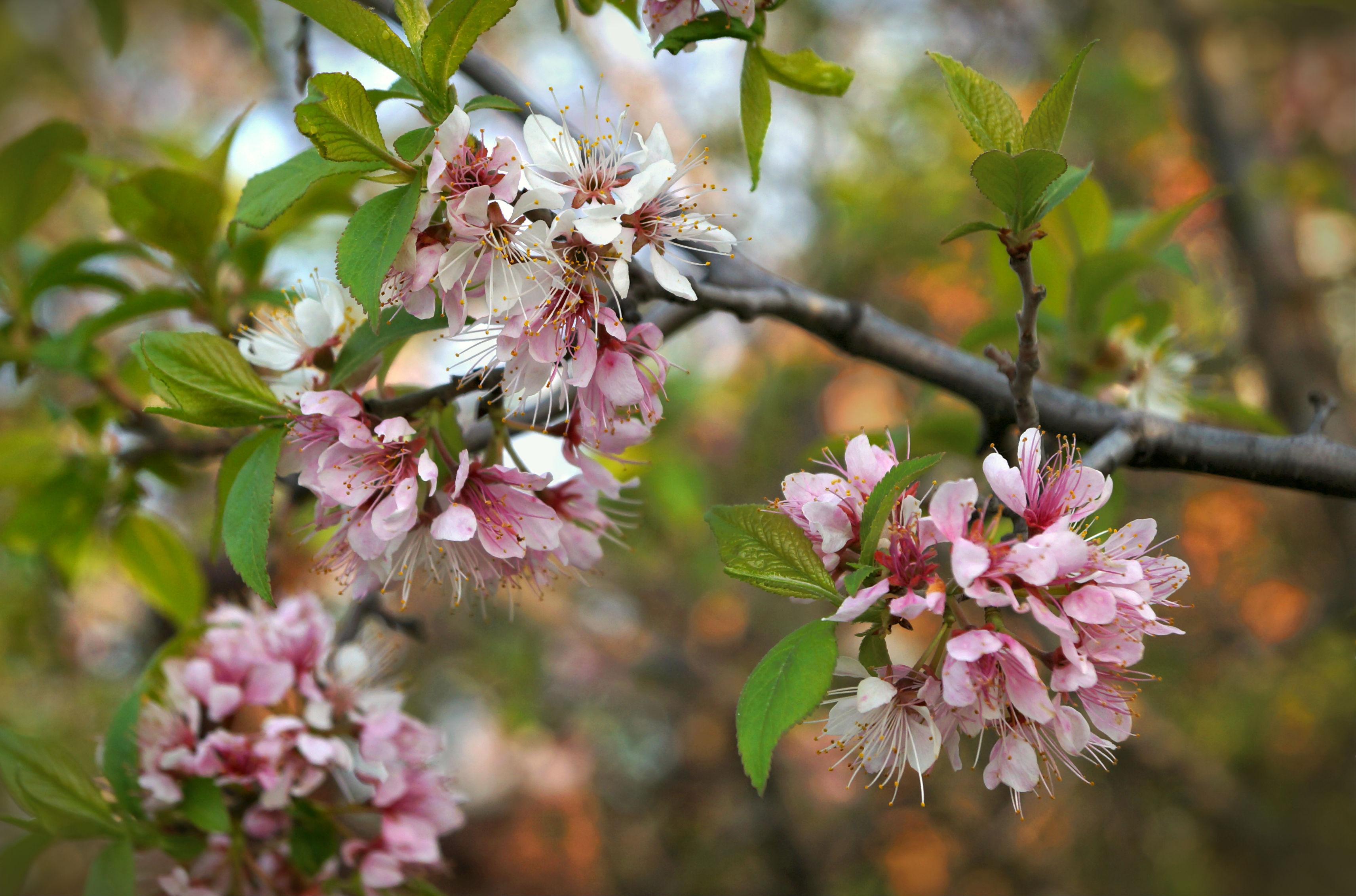 Посадка сливы весной в ленинградской области - gronatanagrohim.ru | 2263x3425