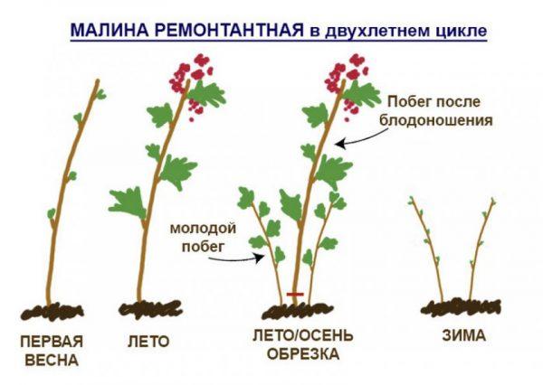 Схема развития и обрезки в августе ремонтантой малины
