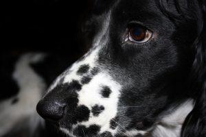 собака грустная