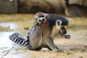 семья лемуров