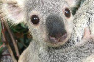 коала таллоу