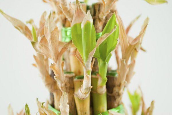 Высохший бамбук
