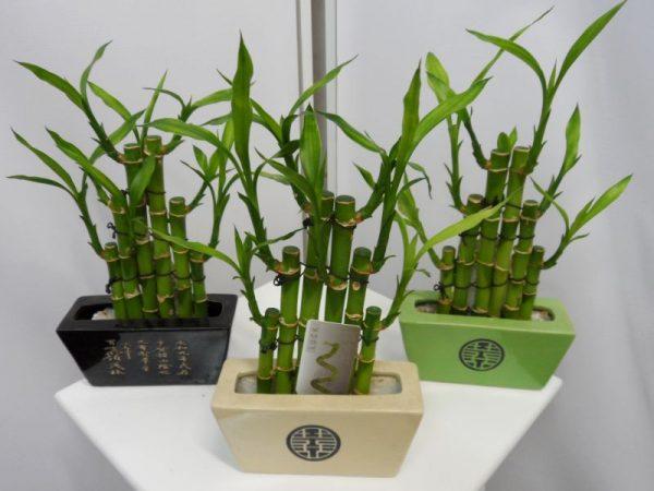 Комнатные бамбуки в вазах