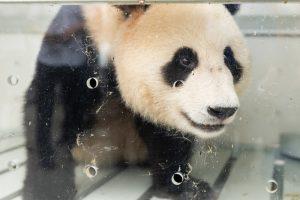 жуи панда