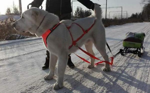 Спортивная шлейка на собаке