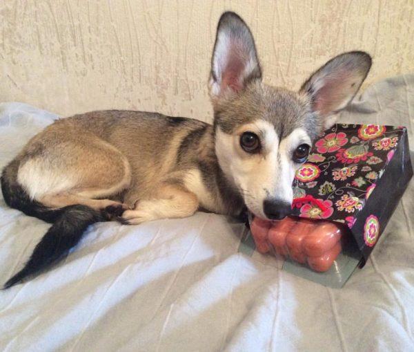 Актриса-собака Глаша и упаковка сосисок