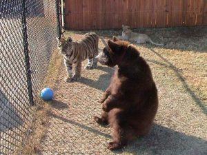 тигр и медведь