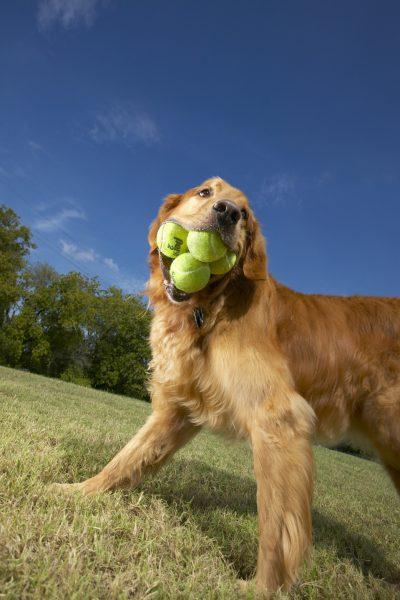 5 теннисных мячей во рту у собаки