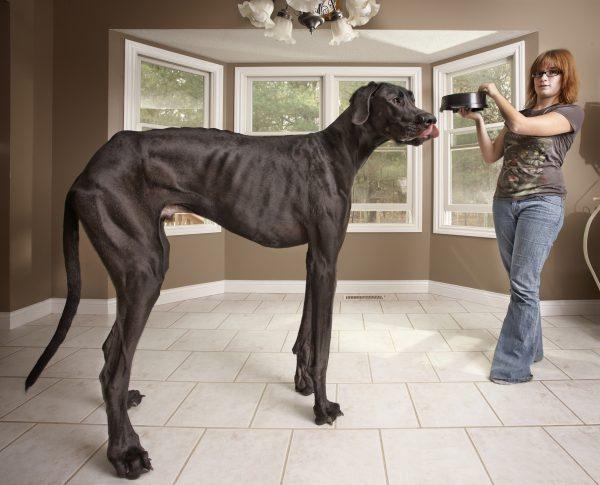 самая высокая собака в мире