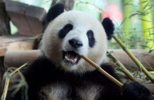 панды берлинского зоопарка