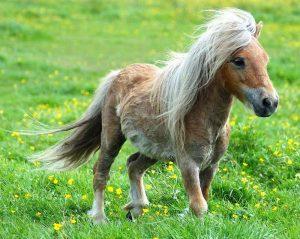 живой пони