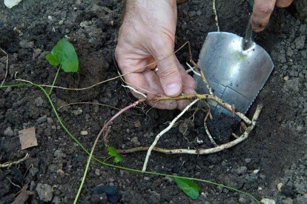 Выкапывание проростков вьюна