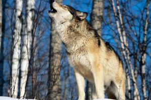 кирилл потапов и волки