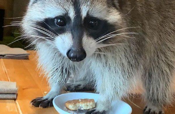 прожорливый енот пробрался в московское кафе