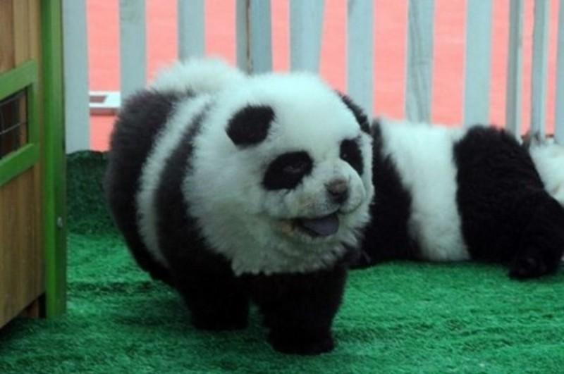 панды и чау чау